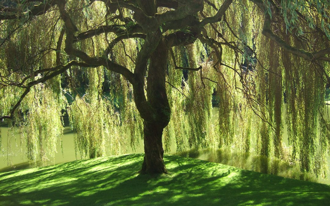 Weeping Willows and Their Effects on Water Supply in Langley
