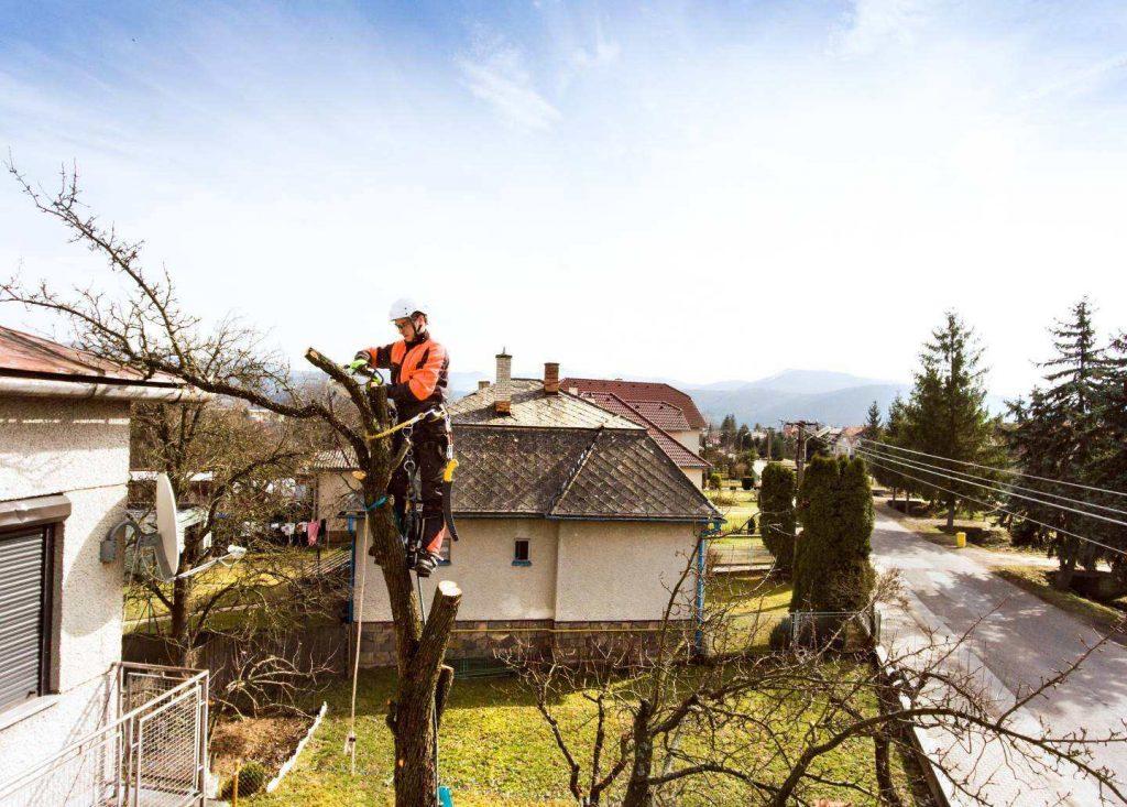 arborist doing tree pollarding